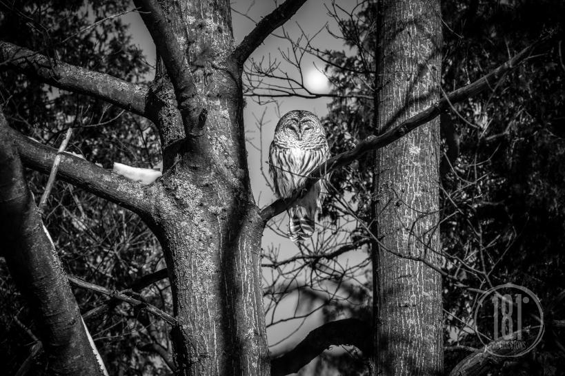 OwlintheBackyard-Jan3.2013-8